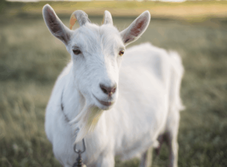 Want To Own Goats? All You Need to Know